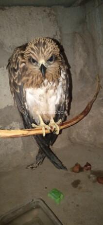 black-kite-eagle-big-3