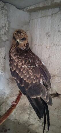 black-kite-eagle-big-0