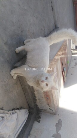 russian-male-cat-big-0