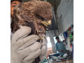 a-young-black-kite-small-0