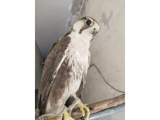Lager Falcon male