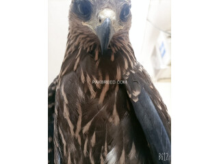 Black kite(milvus migrans)
