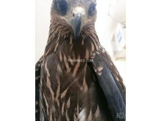 Black kite(milvus migrans)