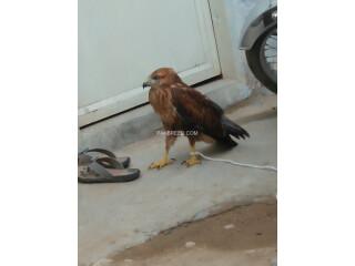 Eagles baby