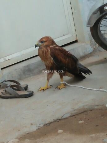 eagles-baby-big-0
