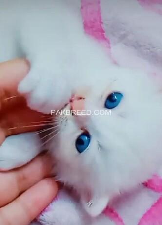 pershion-kittens-big-4