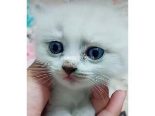 Pershion kittens