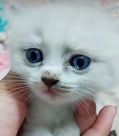 pershion-kittens-big-0