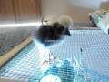 polish-chicks-small-2