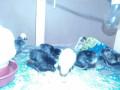 polish-chicks-small-4