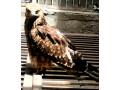 black-kite-hawk-small-2