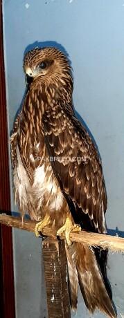 black-kite-hawk-big-0
