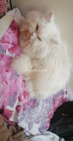 persian-cat-doll-face-big-2