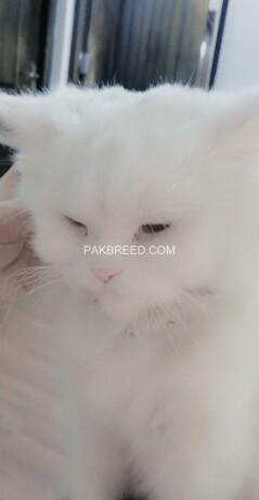 persian-cat-doll-face-big-4