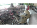 1-desi-hen-with-2-desi-chickens-small-3