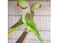 parrot-small-0