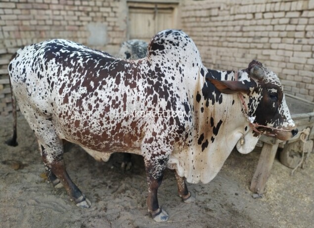 bull-for-qurbani-sale-big-0