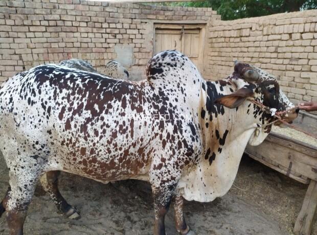 bull-for-qurbani-sale-big-3