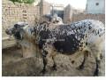bull-for-qurbani-sale-small-3