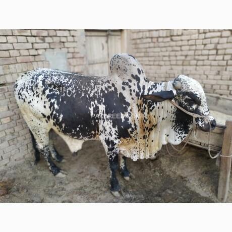 bull-for-qurbani-sale-big-1