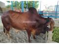 bull-for-qurbani-sale-small-1