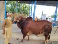 bull-for-qurbani-sale-small-0