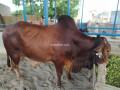 bull-for-qurbani-sale-small-4