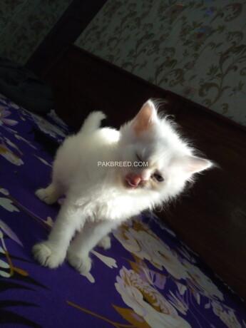 beautifull-persian-kittens-big-1