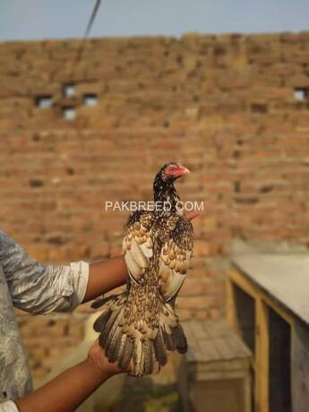 quality-aseel-chicks-big-3