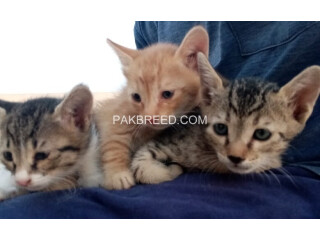Cute kittens up for adoption