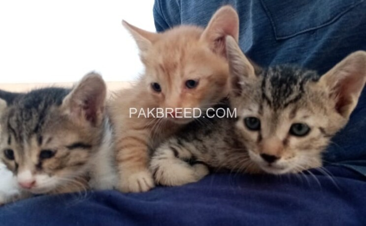 cute-kittens-up-for-adoption-big-0