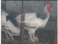 light-sussex-heritage-males-for-sale-small-2