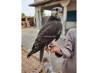 Lager Falcon male and female available
