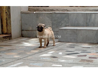 Pedigree 5 months young pug puppy