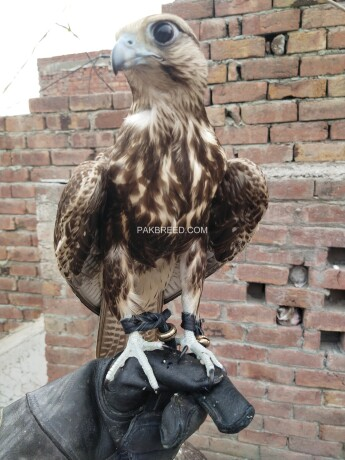 lager-falcon-male-and-female-available-big-1