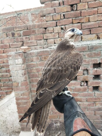 lager-falcon-male-and-female-available-big-0
