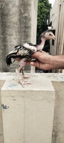 pure-aseel-chicks-big-1