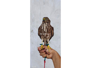 Hinting trained falcon