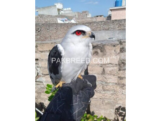 South African Red Eye Eagle
