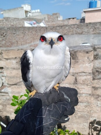 south-african-red-eye-eagle-big-3