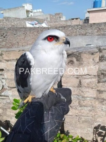 south-african-red-eye-eagle-big-0