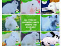 english-angora-rabbit-full-face-imported-indonesian-bloodline-adult-pair-for-sale-small-2