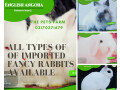 english-angora-rabbit-full-face-imported-indonesian-bloodline-adult-pair-for-sale-small-4
