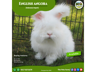 English Angora Rabbit Full Face Imported Indonesian Bloodline Adult Pair For Sale