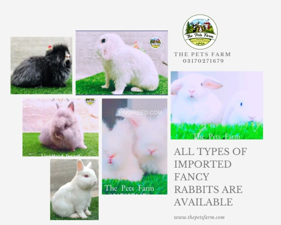 english-angora-rabbit-full-face-imported-indonesian-bloodline-adult-pair-for-sale-big-3