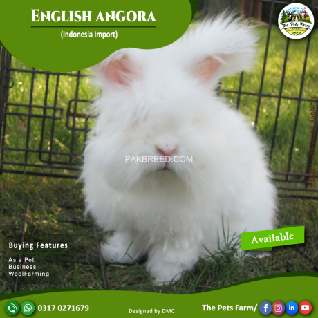 english-angora-rabbit-full-face-imported-indonesian-bloodline-adult-pair-for-sale-big-0