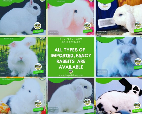 english-angora-rabbit-full-face-imported-indonesian-bloodline-adult-pair-for-sale-big-2