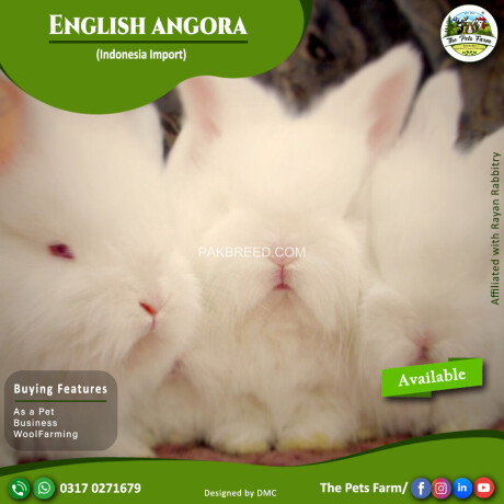 english-angora-rabbit-full-face-imported-indonesian-bloodline-adult-pair-for-sale-big-1