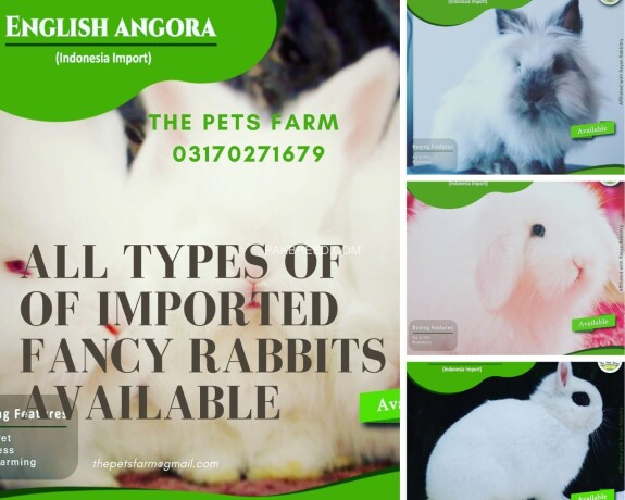 english-angora-rabbit-full-face-imported-indonesian-bloodline-adult-pair-for-sale-big-4