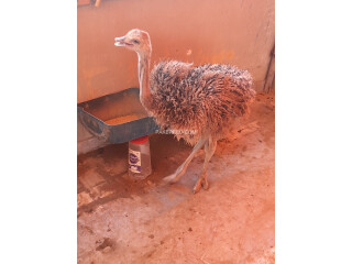 Ostrich Male 3 to 4 Months Old